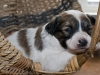 Papillion Pup