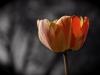 Rochester Tulip