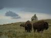 Wandering Bison